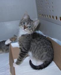 .Bond is an adoptable American Shorthair Cat in Pikesville, MD. Bond (brown tabby and white male), Broadway (brown tabby female) and Preston (black male) were abandoned in a box on the street in East ...