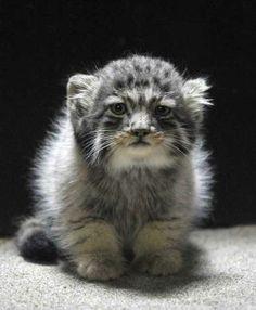 Russian wild kitten: Manul.