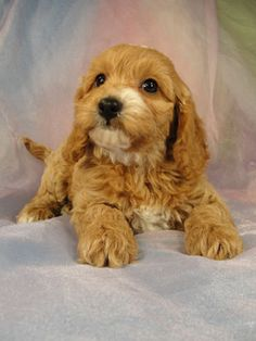 Cockapoo! I have a dog like this!