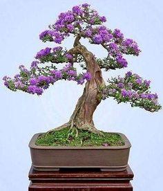 Purple Orchid Tree Bonsai Bonsai Tree
