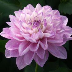 "Carolina Moon Dahlia (4-6"" bloom; 2' bush): lilad and white waterlily."