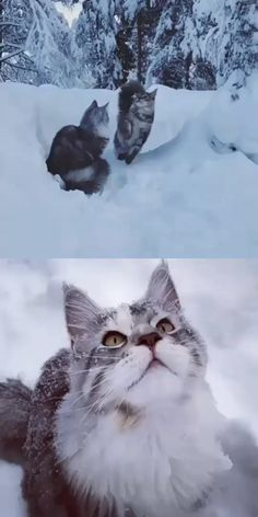 Two Maine Coon Cats Playing In The Snow ❄ Dos gatos Maine Coon jugando en la nieve ❄ Cute Funny Animals, Cute Baby Animals, Funny Cats, Cute Kittens, Cats And Kittens, Cats Meowing, Cute Kitten Videos, Cats Bus, Ragdoll Kittens
