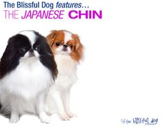 The Japanese Chin is actually from China, but their true origins are still shrouded in mystery. Here I will share The Blissful Dog products dedicated to the Japanese Chin, historical tidbits and more.