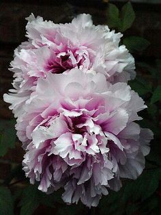 Peony 'Marguerite Gerard' by Bev Pascoe