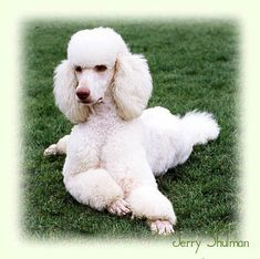 poodles -Standard like Paris.....my friends poodle....