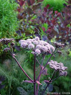 Angelica 'Ebony' Garden Pictures, Bunt, Garden Ideas, Landscaping, Seeds, Cottage, Flowers, Plants, Yellow