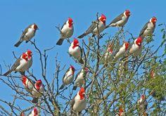 Paroaria coronata - cardenal de cresta roja o cardenal copete rojo de Sur América (foto por Marcio Repenning)