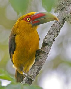 Saffron Toucanet.  Big bill in Brazil.