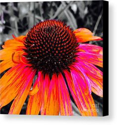 Painted Coneflower Canvas Print by Onedayoneimage Photography.  All canvas prints are professionally printed, assembled, and shipped within 3 - 4 business days and delivered ready-to-hang on your wall. Choose from multiple print sizes, border colors, and canvas materials.