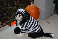My King Charles Cavalier on Halloween dog