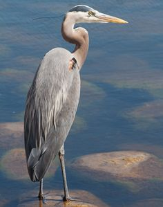 Great Blue Heron on the Cotee River, New Port Richey Florida
