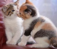 Primero, tú tienes que conquistar la confianza del gato. Después, tú tienes que aprender a respetarlo. Él te demostrará afecto cuando realmente este preparado y no cuando tú se lo mandes. Gatos reflejan amor. ...
