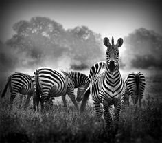In Black And White Art by Donvanstaden Zebra In Black And White Art by Donvanstaden at Zebra In Black And White Art by Donvanstaden at Black N White Images, White Art, Black White, White Zebra, Wildlife Photography, Animal Photography, Color Photography, Urban Photography, Beautiful Creatures