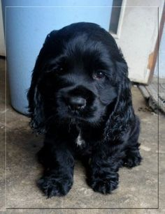 black cocker spaniel puppy.
