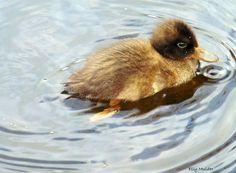 #fotografie #natuur #nature #eendje #baby #duck #water #voorjaar #spring