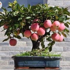 new 2014 Bonsai Apple Tree Seeds 200 Pcs apple seeds (used wet sand sprouting )fruit bonsai home garden in flower pots planters