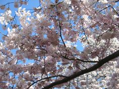 Washington, DC - Cherry Blossoms. Can't wait to go here in  May!
