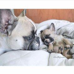Franse bulldog, French Bulldog Mother and Puppy, I have no words ; )