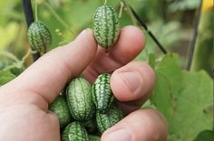 Thing You Must Plant This Instant: Cucamelons