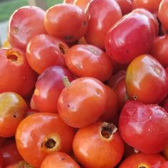 Immune Boosting Rosehip Syrup Recipe [Picture Guide] - These beautiful red globes are an immune boosting powerhouse that contain 20-30% more vitamin C than oranges!  Just an ounce a day will do the trick.
