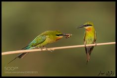 """Blue tailed bee eater from Pakistan. Press """"H"""" to view in full screen. Hope you like it :) You may follow me at   Facebook page   Flickr   Instagram  """