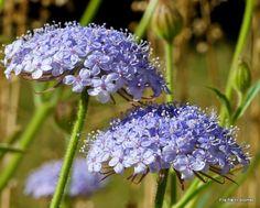 Fra frø til blomst: Kniplingeblomst