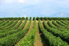 Vineyard, Wine Art Estate, Drama, Greece