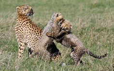 "Cheetah cubs play at Laikipia, Kenya. Blair Roberts, who captured the scene, says: ""I came across a mother cheetah with adorable playful cubs of about 6-8 weeks old. I observed as she sat patiently watching her young as they tussled and rolled around play-fighting."""
