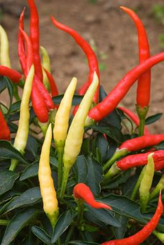 Top tips on growing chillies