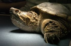 Ontario snapping turtle endangered yet hunted.