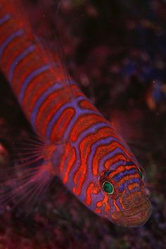 Zebra Goby at Catalina Island, California. Underwater Creatures, Underwater Life, Ocean Creatures, Underwater Photos, Saltwater Fish Tanks, Saltwater Aquarium, Aquarium Fish, Marine Aquarium, Marine Fish