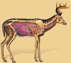 deer organs - Google Search