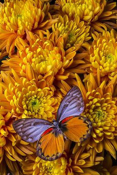 Beautiful Photograph - Butterfly Mums by Garry Gay