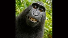 People for the Ethical Treatment of Animals, PETA, sues to give monkey the copyright of selfie photos - http://www.nollywoodfreaks.com/people-for-the-ethical-treatment-of-animals-peta-sues-to-give-monkey-the-copyright-of-selfie-photos/
