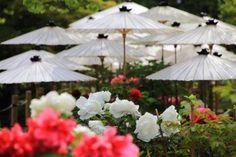 京都の牡丹の名所の乙訓寺(おとくにでら)の見ごろのボタンの花