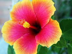 6 Island Hibiscus Scented Candle Tarts Wax Melts by AmbersAromas4U, $5.75