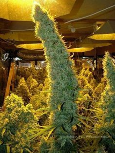Growing Weed Indoors the Easy Way, Choose the right cannabis strain