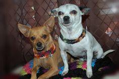 Posh Pooch Designs Dog Clothes: Metal Chain Crochet Dog Collar