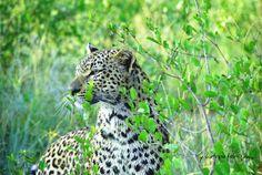 Safari-Kalender 2021 Safari, Panther, Animals, Tour Operator, Nature Reserve, Wilderness, Travel Report, Tours, Calendar