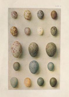 Antique egg print https://www.etsy.com/listing/198947102/original-vintage-egg-print-ornithology