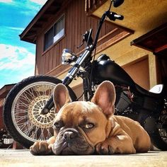 """""""Look, but don't touch."""" #BikerDogs #GuardDog"""