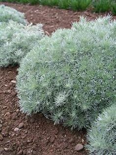 Artemisia Silver Mound one of the most useful herbs for chickens.Artemisia Silver Mound - Place clippings in nesting boxes to repel poultry lice & mites naturally Herbs For Chickens, Keeping Chickens, Pet Chickens, Raising Chickens, Chickens Backyard, Ghost Plant, Comment Planter, Dusty Miller, Hobby Farms
