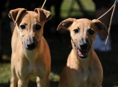 These are WHIPPETS! They don't smell that much. Click for more dog breeds that don't really have a smelly doggie odor.
