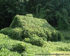 "Kudzu:  This vine  ate the South.. I know that; however, the pinner said, "" Makes unbelievable mulch for tomatoes. Has a natural built in growth hormone that sends tomatoe plants over the top."""