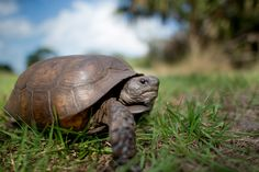 https://flic.kr/p/RAiTxw | Gopher Tortoise Close Up | This species was not originally on my list of wildlife to photograph during my time in Florida but when I saw signs for them at the park right next to where we were staying I started keeping an eye out for them.  This cooperative Gopher Tortoise walked right up to me while I was laying on the ground. From my experience they are either very frightened and quickly retreat or they don't pay you any mind and go about their business of eating…