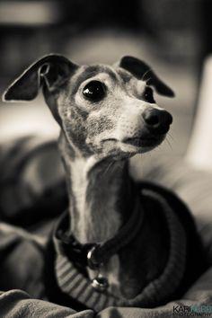 Italian Greyhound by Kari Kerr Happy Animals, Cute Animals, I Love Dogs, Puppy Love, Magyar Agar, Black And White Dog, Grey Hound Dog, Italian Greyhound, Cute Creatures