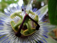 passionflower...nothing...more....beautiful!