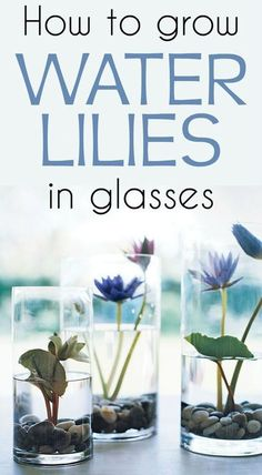 Learn how to grow water lilies in glasses. #GardenWater