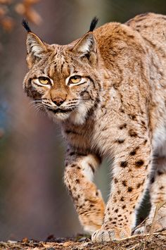 The Eurasian Lynx (Lynx lynx) is found from the Alps to Siberia.  -kc