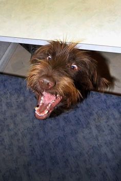 Winchester...Wirehaired Pointing Griffon